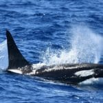 Bremer Canyon Orca - Credit: Whale Watch Western Australia