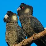 Short Billed Black Cockatoo - Photo: Steve Elson, Shire of Jerramungup