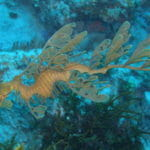 Seadragon Bremer Bay WA