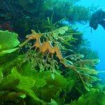 Leafy Seadragon Bremer Bay Dive Trail - Photo Credit Craig Lebens