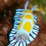 Nudibranch Bremer Bay Diving - Photo Credit Craig Lebens