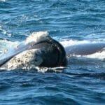 Southern Right Whales Bremer Bay WA - Photo Credit Rob Hayball